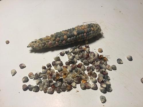 Semillas De Maíz De Colores