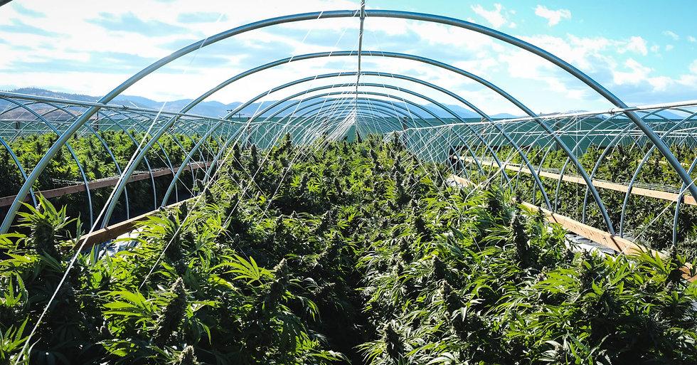 cannabis-farm.jpg