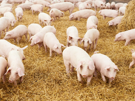As Interest in Group Housed Pork Rises, OSI Helps Customers Fulfill Commitments