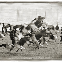 Excuses Flock like Cackling Geese