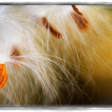 Milkweed in Autumn