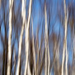 Silver Birch Spirit