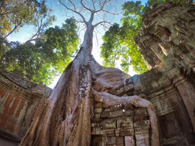 Eingewachsene Bäume im Tempel Ta Prohm