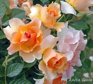 PH Anita Gioia-FLOWER SERIES 8