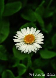 PH Anita Gioia-FLOWER SERIES 17