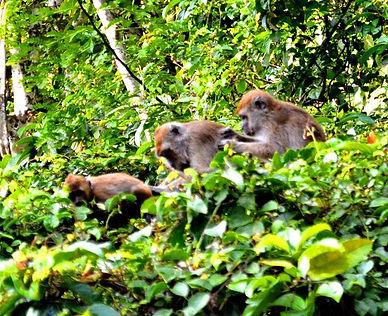 borneo maymun
