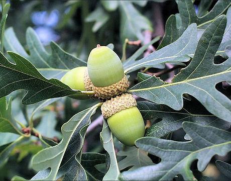 OAK_WHITE3_fruit.jpg