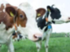 dungense dame koeien.jpg
