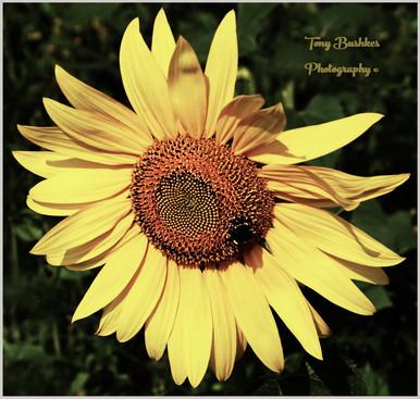 A Sunflower & Bee