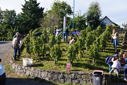 Vendange de la vigne du musée avec les enfants de l'école Vercingétorix