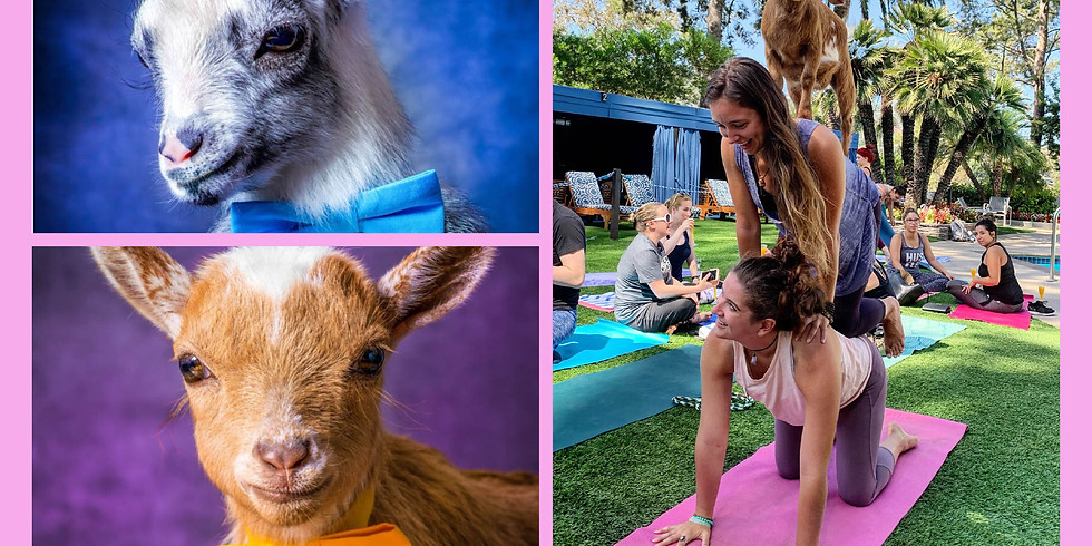 Goat Yoga with Bottomless Mimosas at Hilton Universal Hotel