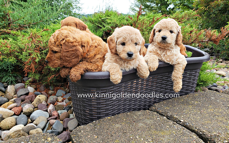 goldendoodles in Wisconsin
