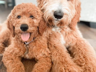 Should I Adopt Two Puppies At the Same Time?