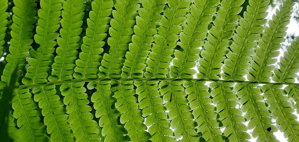 Fern Leaves.jpg