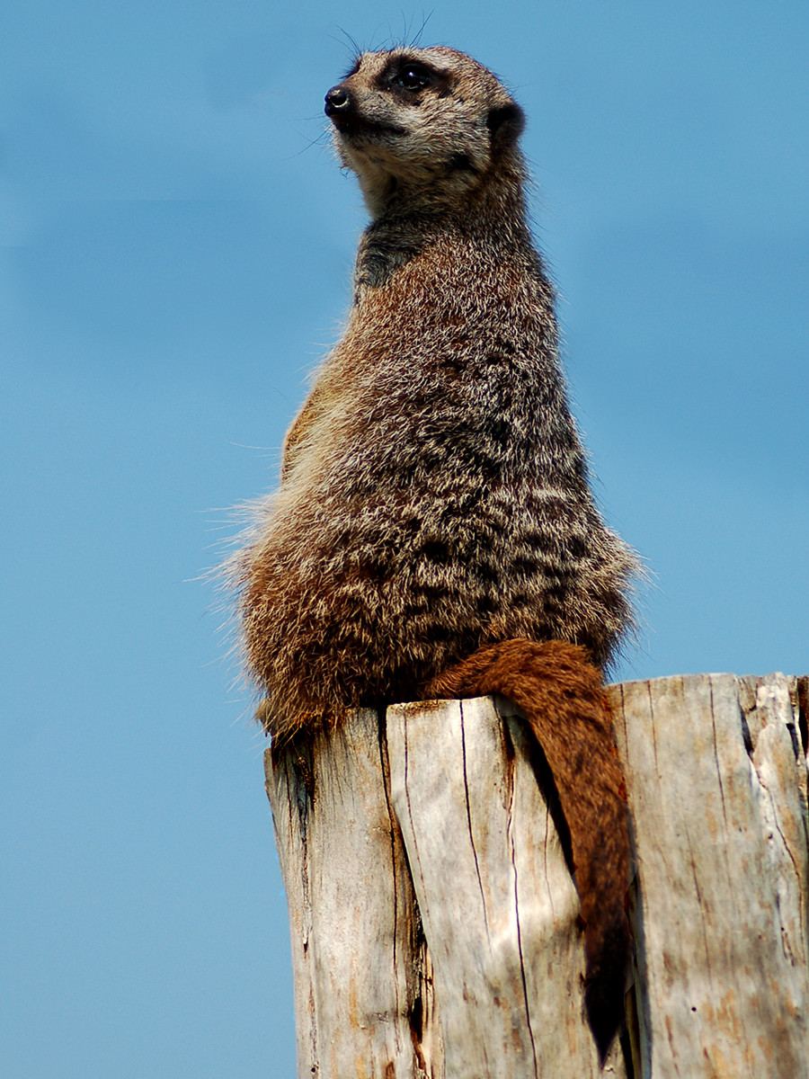 COLOUR - Meerkat by Stephen Jordan (9 marks)