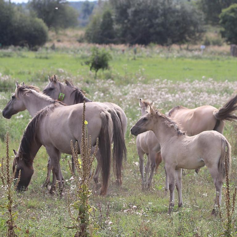 Exkursion: Wilde Pferde im Naturschutz