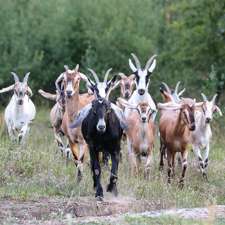 Exkursion - Mit Ziegen durch die Döberitzer Heide
