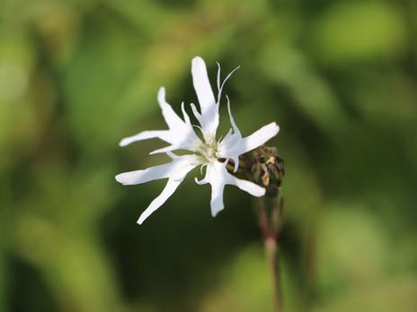 Bemerkenswerte Pflanzen im Ferbitzer Bruch