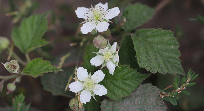 Brombeere in Blüte