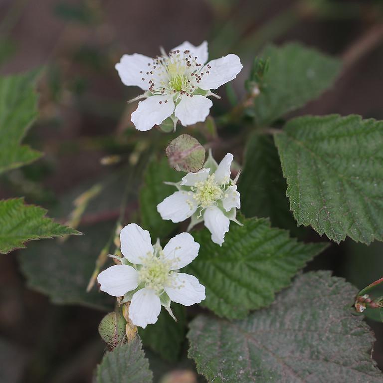 Exkursion: Heilpflanzen in der Döberitzer Heide (ausgebucht)