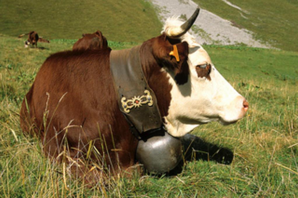 Vache race Abondance.