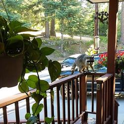 Raccoon at Hower Lodge