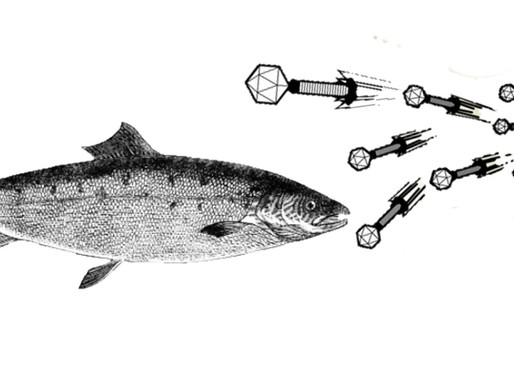 Phages to the rescue for the Norwegian farmed salmon
