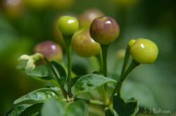 little peppers.jpg