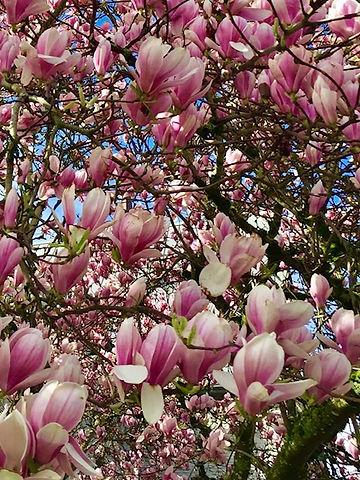 MSM magnolias.jpg