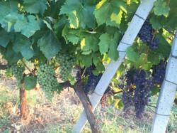 Visiting Vineyards