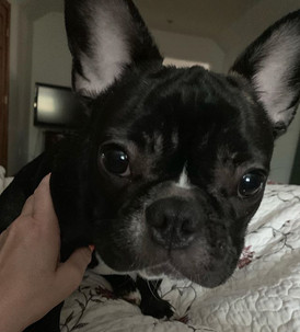 What are you telling me #Frenchbulldogs