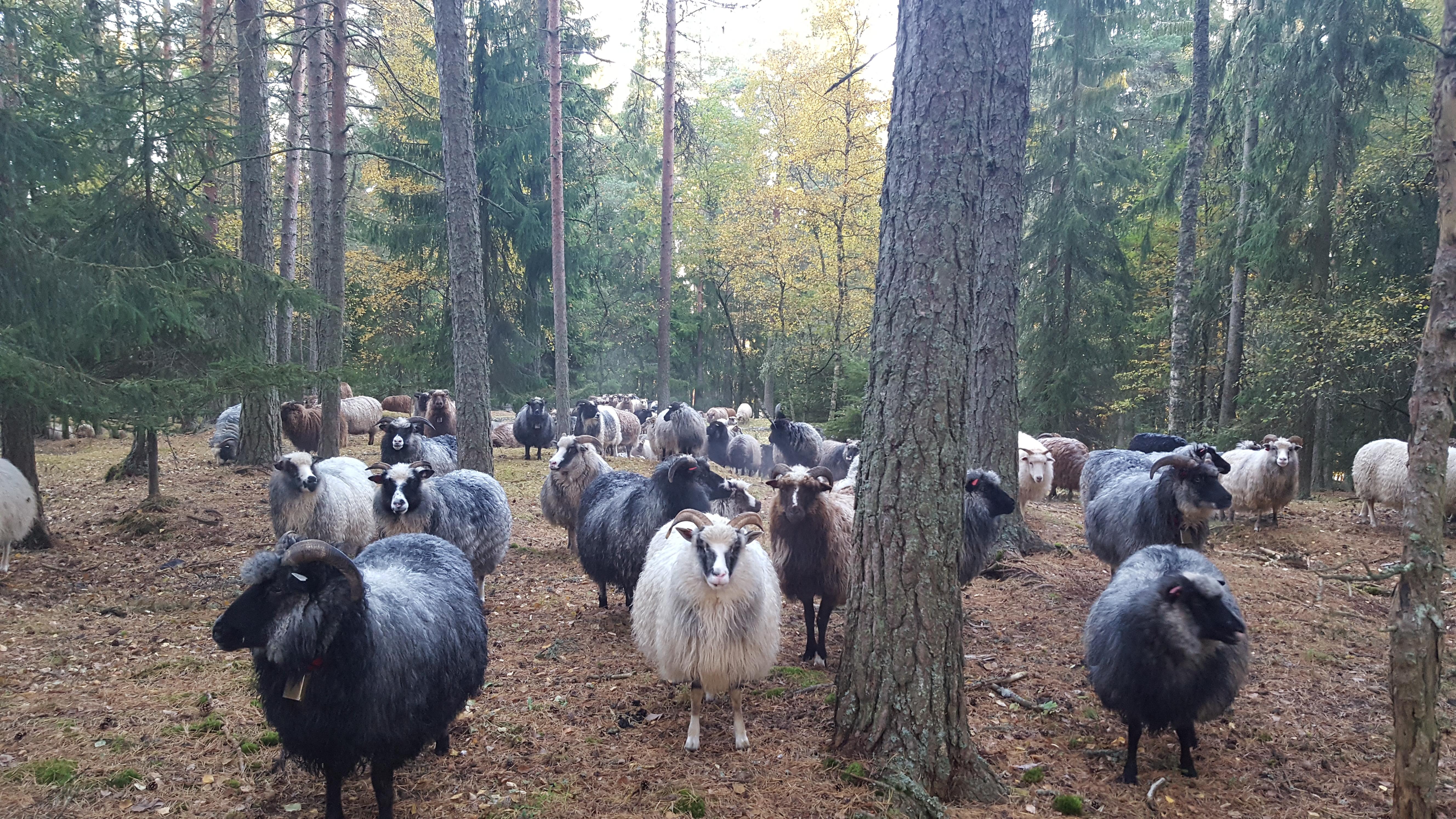 Sauene i skogen