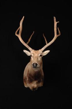 Deer Pere-David