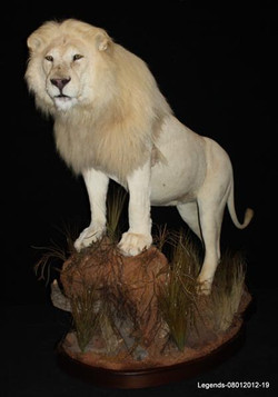 Lion African 1 (1)