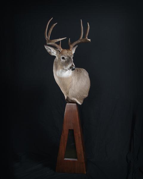 Deer Whitetail 2