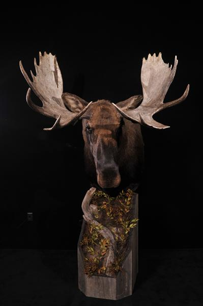 Moose Pedestal Mount 2