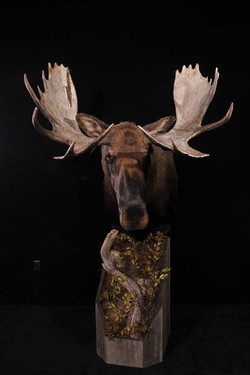 Moose Pedestal Mount 2