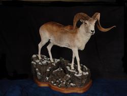 Sheep Marco Polo