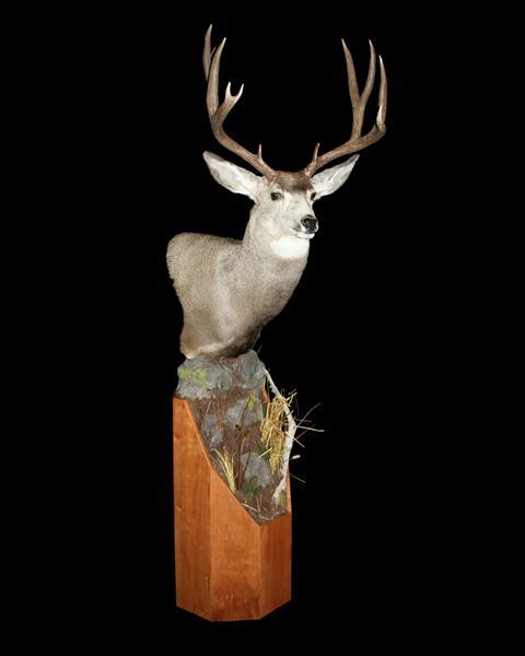 Deer Whitetail Pedestal on Cherry Base