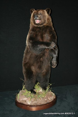 Bear Grizzly Lifesize 1