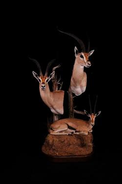 Grant Gazelle and Thompson Gazelles