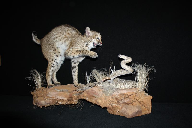Bobcat and Rattle Snake