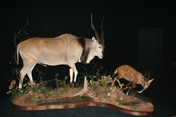 Eland Lord Derby and Bushbuck 1