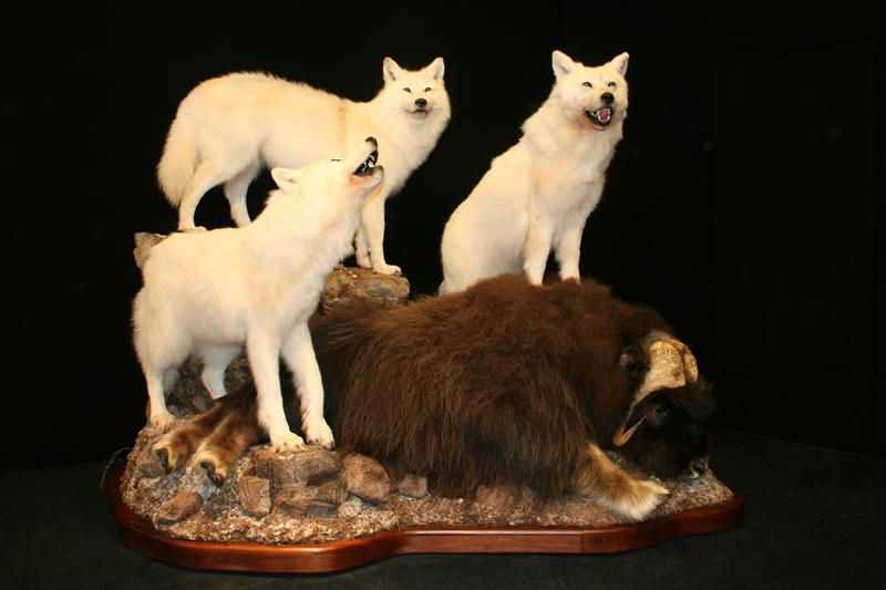 Wolves with Musk Ox