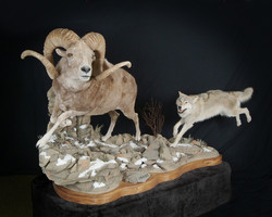 Mongolian Argali Sheep with Wolf