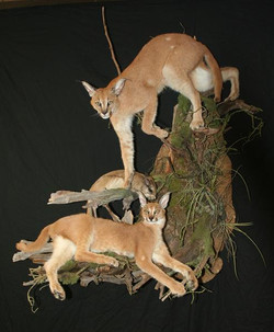 Caracal Cats and Springhare