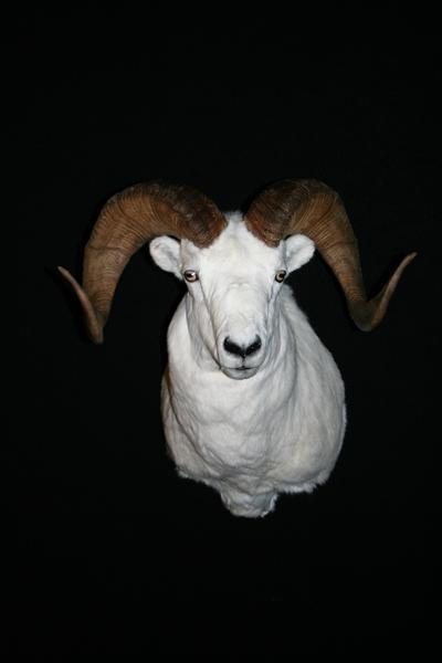 Sheep Dall
