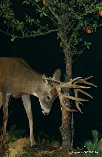 Deer Whitetail LS 1