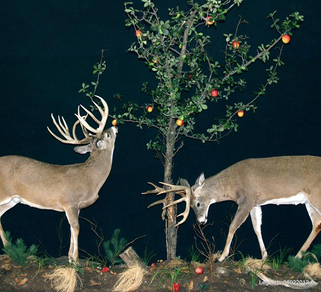 Deer Whitetail LS 3