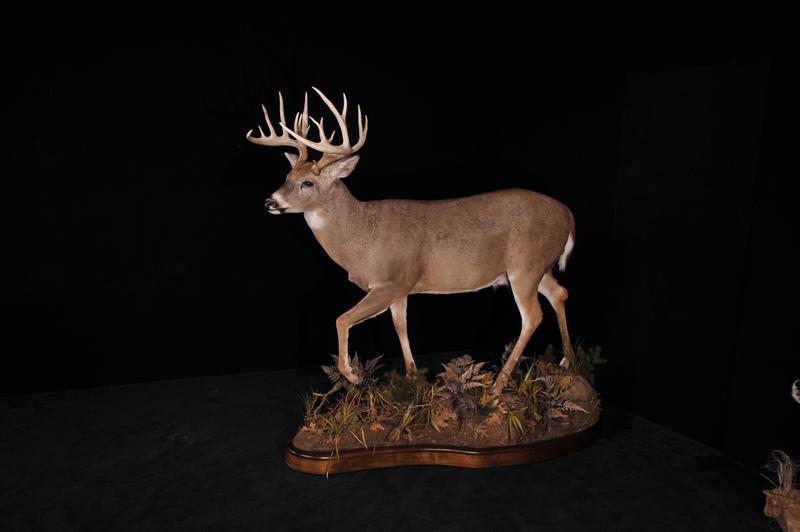 Deer Whitetail